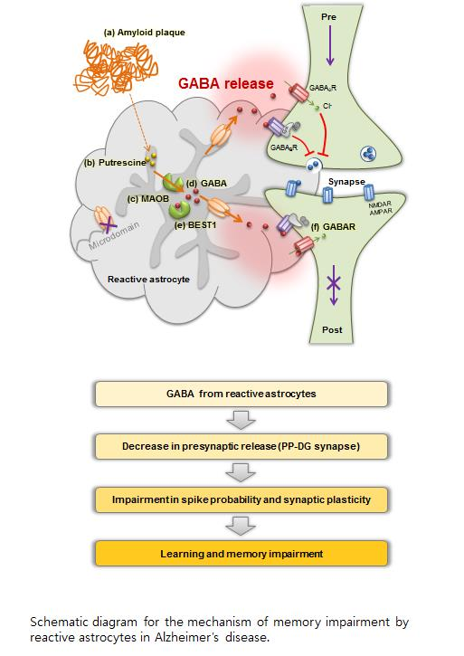 Schematic diagram for the mechanism of memory impairment by reactive astrocytes in Alzheimer's Disease.  Credit:  Korea Institute of Science and Technology (KIST).