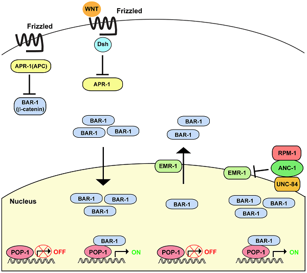 Summary of RPM-1 signaling through the ANC-1/BAR-1 pathway.  Canonical Wnt signaling through Disheveled (Dis) and APR-1 (APC ortholog) regulates the β-catenin BAR-1. In the absence of Wnt, APR-1 is active and inhibits BAR-1. In the presence of Wnt, APR-1 is inhibited and BAR-1 activity is increased. Higher levels of BAR-1 lead to increased nuclear import and activation of the transcription factor POP-1 (TCF/LEF). We have shown that RPM-1 binds to ANC-1, and RPM-1 and ANC-1 function in the same pathway to positively regulate BAR-1 activity. RPM-1 and ANC-1 are likely to function in a protein complex at the nuclear envelope to regulate BAR-1 nuclear levels by inhibition of EMR-1. Canonical Wnt signaling is likely to act coordinately with RPM-1 and ANC-1 to regulate BAR-1 activity.  Grill et al 2014.