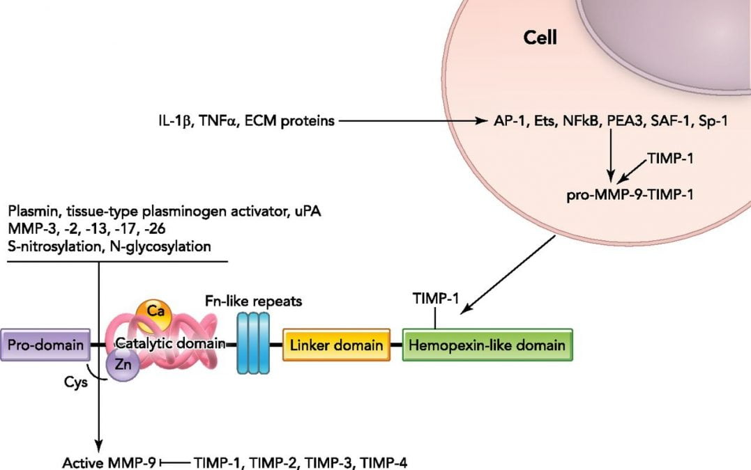 MMP-9 structure and factors regulating MMP-9 transcription and translation .  Ets, E-26 transcription factor; NF-κB, nuclear factor κB; PEA-3, polyomavirus enhancer A-binding protein-3; AP-1, activator protein 1; SAF-1, serum amyloid A-activating factor 1; HSP60, heat shock protein 60; TIMP, tissue inhibitor of metalloproteinase; uPA, urokinase plasminogen activator.  Matrix Metalloproteinase-9: Many Shades of Function in Cardiovascular Disease.  Lindsey et al 2013.