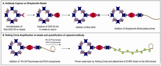 A highly sensitive microsphere-based assay for early detection of Type I diabetes. Concept showing microsphere based detection of an Islet Cell Autoantibody (ICA) - Glutamic Acid Decarboxylase (GAD65) using Rolling Circle Amplification (RCA) on microspheres. Streptavidin-microspheres are conjugated with biotinylated-GAD65 followed by binding of GAD65Ab to microspheres. To these microspheres, biotin-GAD65 is added and coupled with bioyinylated DNA-primer via an avidin bridge. To the immobilized target primer, RCA circle is added followed by elongation using Phi 29 Polymerase and detection using SYBR Green II fluorescence.  Credit:  Martin L. Yarmush, yarmush@rci.rutgers.edu.