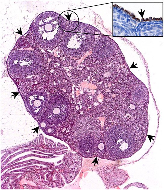 Mouse ovary is encapsulated by a single layer of cells called ovary surface epithelium (indicated by black arrows). These cells are long believed to be the cancer cell of origin of ovarian cancer in humans.  Barker et al 2014.
