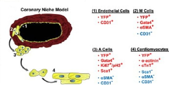 Endothelial Cells Contribute to Generation of Adult Ventricular Myocytes during Cardiac Homeostasis.  Schematic drawing of the cardiac stem cell niche model illustrates the spatial organization of EC progeny and their corresponding expression profiles.  Hatzopoulos et al 2014.