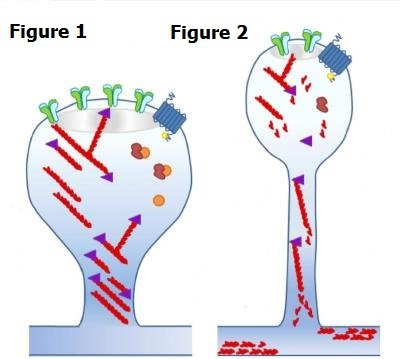 Synapses are shown in this diagram with (Fig 1) and without (Fig 2) MK2/3.  Credit: University of Warwick.
