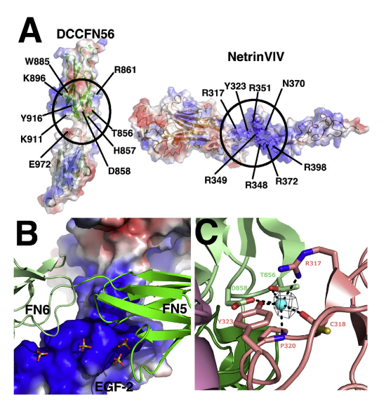 Detailed Molecular View of Generic Receptor Binding Site 2 on Netrin-1.  (A) An open book view of the regions on netrin-1 and DCC involved in binding site 2 showing the electrostatic surface potential to emphasize the positively charged regions within the binding site interface.  (B) View of the sulfate cluster at binding site2,withsulfate ions shown as sticks and the surface of the netrin-1 molecule shown with its electrostatic surface potential. The FN5 and FN6 domains of DCC are shown as a ribbon diagram in green.  (C) Identification of a chloride ion (green ball) at the interface of binding site 2, between the EGF-1 domain of netrin-1 colored salmon and the FN5 domain of DCC colored light green. An Fo-Fc omit map was calculated using the CCP4 suite (Winn et al., 2011) for a model lacking the chloride ion, and the electron density is displayed at a contour level of 5s.  Wang et al 2014.