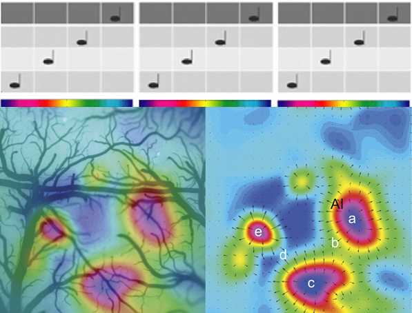 "Tone Frequency Response Organization Defines Rodent Core Auditory Cortex. Optical imaging is another method used to map cortical responses to sound frequency or position of activation on the cochlea. One of the problems with using fMRI to map cochleotopy in auditory cortex is the magnets make a lot of noise. Consequently, it is tricky to determine responses to specific sounds. With optical imaging you can obtain high spatial resolution maps of cortical responses to sound without this large background noise. The map on the left is the optically imaged response to ascending and descending tone scales overlaid with an image of the surface blood vessels for the same region of temporal cortex in the rat. Each color in the colourbar is the a different pure-tone frequency or note in the musical scale used as a sensory stimulus to activate the cortex. Even this small mammal has multiple cochleotopic maps which are complete representations of the cochlear sensory response to tones. On the right is the same functional image overlaid with a vector map. The vector map illustrates the direction and magnitude of change in frequency. The points labeled a, c and e all respond to low frequency tones. The response ascends from low (point a, dark blue) to high (b, green) characteristic frequencies in one representation of the cochlea. Then at point ""b"" there is a mirror reversal and the response descends from high (b, green) to low (c, dark blue) characteristic frequencies. The anatomy of human auditory cortex and its thalamic inputs remains a bit unclear and therefore it is hard to determine what regions are similar or homologous between human and other mammals. However, it is clear that all mammals have core regions with cochleotopic organization and mirror reversals in that cochleotopy between neighboring core or belt regions. (Figure Source: modified from Higgins et al, 2010)"