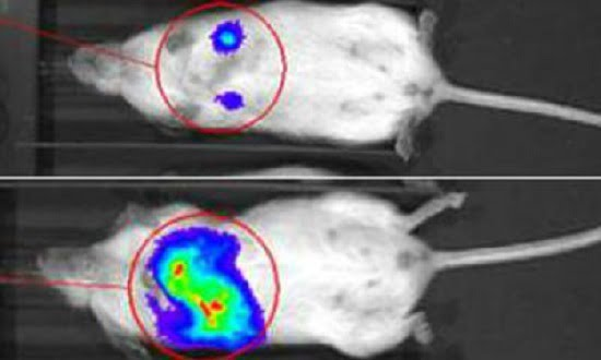 This image depicts a tumour with reduced levels of enzyme UBC13 (top) and a control tumour (bottom) that has spread to the lungs.  Credit: UC San Diego School of Medicine.