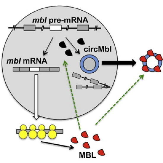 Circular RNAs (circRNAs) are widely expressed noncoding RNAs. Here, by studying circRNAs in neuronal tissues, we provide evidence that animal circRNAs are generated cotranscriptionally and that their production rate is mainly determined by intronic sequences. We demonstrate that circularization and splicing compete against each other. These mechanisms are tissue specific and conserved in animals. Interestingly, we observed that the second exon of the splicing factor muscleblind (MBL/MBNL1) is circularized in flies and humans. This circRNA (circMbl) and its flanking introns contain conserved muscleblind binding sites, which are strongly and specifically bound by MBL. Modulation of MBL levels strongly affects circMbl biosynthesis, and this effect is dependent on the MBL binding sites. Together, our data suggest that circRNAs can function in gene regulation by competing with linear splicing. Furthermore, we identified muscleblind as a factor involved in circRNA biogenesis.  Kadener et al 2014.