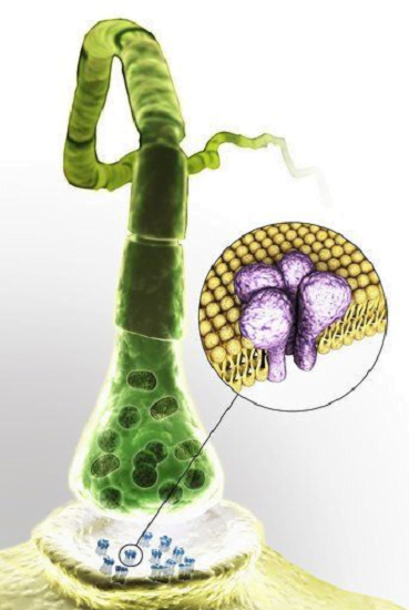 Chemical synapse with close-up of GABA receptor.  Credit:  http://www.3d4medical.com/