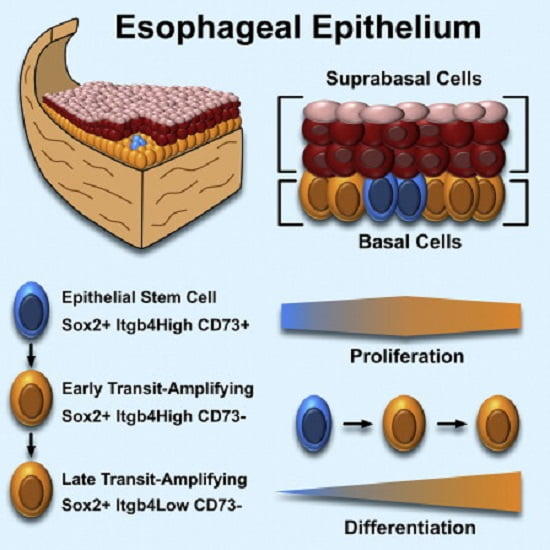 Because the esophageal epithelium lacks a defined stem cell niche, it is unclear whether all basal epithelial cells in the adult esophagus are functionally equivalent. In this study, we showed that basal cells in the mouse esophagus contained a heterogeneous population of epithelial cells, similar to other rapidly cycling tissues such as the intestine or skin. Using a combination of cell-surface markers, we separated primary esophageal tissue into distinct cell populations that harbored differences in stem cell potential. We also used an in vitro 3D organoid assay to demonstrate that Sox2, Wnt, and bone morphogenetic protein signaling regulate esophageal self-renewal. Finally, we labeled proliferating basal epithelial cells in vivo to show differing cell-cycle profiles and proliferation kinetics. Based on our results, we propose that a nonquiescent stem cell population resides in the basal epithelium of the mouse esophagus.  Cellular Heterogeneity in the Mouse Esophagus Implicates the Presence of a Nonquiescent Epithelial Stem Cell Population.  Lagasse et al 2014.