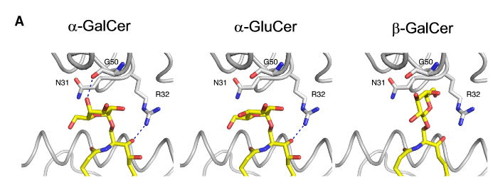 The L363 Antibody Binds with Different Affinity to Both CD1-a-GalCer and CD1-a -GluCer Complexes but Does Not Recognize b-Glycosylceramide-CD1d Association.  Predicted L363 binding to glycosylceramides. In the crystal structure, L363 contacts a-GalCer with two H-bonds, G50 interacts with the axial 400-OH, and R32 is specific to the sphingosine chain (Protein Data Bank [PDB] ID 3UBX, left panel).  Modeling the interaction with a-GluCer illustrates the loss of the H-bond with G50, which as a result of equatorial rather than axial position of 400-OH, leads to weaker L363 binding affinity (middle panel). However, N31 and R32 together form a cap over the sugar and bind through van der Waals interactions, predominantly through N31. The upright positioning of b-GalCer (modeled with the crystal structure of mCD1d-sulfatide [PDB ID 2AKR]) would prevent L363 binding as a result of steric clashes (right panel).  The Identification of the Endogenous Ligands of Natural Killer T Cells Reveals the Presence of Mammalian a-Linked Glycosylceramides.  Teyton et al 2014.