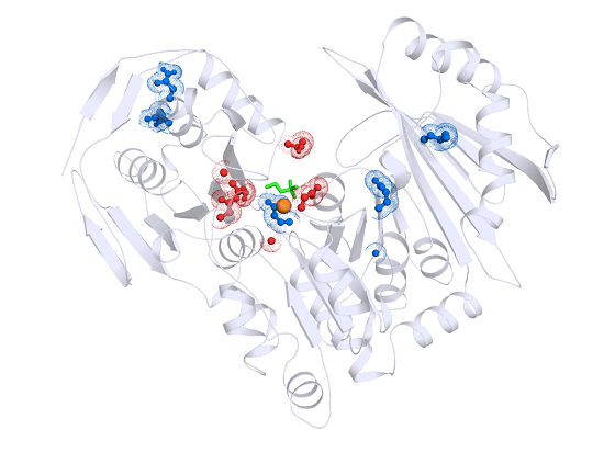 The 3D structure of the PGM1 enzyme, highlighting in red/blue the sites of mutations responsible for the inherited metabolic disease. Each of these mutant enzymes were analyzed in detail by the Beamer lab to understand their effect on enzyme function.   Credit:  MU News Bureau.