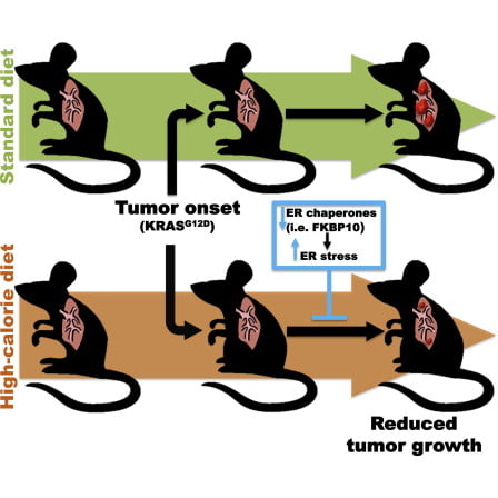 Dietary effects on tumor biology can be exploited to unravel cancer vulnerabilities. Here, we present surprising evidence for anti-proliferative action of high-calorie-diet (HCD) feeding on KRAS-driven lung tumors. Tumors of mice that commenced HCD feeding before tumor onset displayed defective unfolded protein response (UPR) and unresolved endoplasmic reticulum (ER) stress. Unresolved ER stress and reduced proliferation are reversed by chemical chaperone treatment. Whole-genome transcriptional analyses revealed FKBP10 as one of the most downregulated chaperones in tumors of the HCD-pre-tumor-onset group. FKBP10 downregulation dampens tumor growth in vitro and in vivo. Providing translational value to these results, we report that FKBP10 is expressed in human KRAS-positive and -negative lung cancers, but not in healthy parenchyma. Collectively, our data shed light on an unexpected anti-tumor action of HCD imposed before tumor onset and identify FKBP10 as a putative therapeutic target to selectively hinder lung cancer.  Diet-Induced Unresolved ER Stress Hinders KRAS-Driven Lung Tumorigenesis.  Coppar et al 2014.