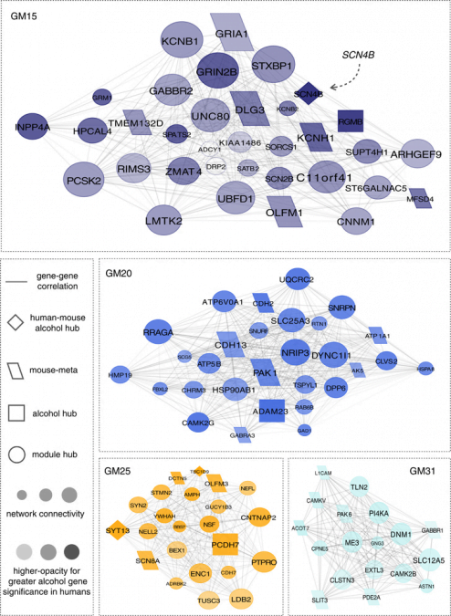 Network diagrams for group 1 gene coexpression modules associated with lifetime alcohol consumption. Visualization demonstrates the interconnection of genes for the top 10% of module members with |r=0.80| correlation strength. Relative size of the depicted networks is based on the size of the four modules. Size of the nodes reflects the module connectivity ranking for individual genes. The degree of node opacity is proportional to the correlation with lifetime consumption, with alcohol hubs defined as those genes within the top 10% of alcohol-associated genes in our human sample. Networks were further overlapped using a prior meta-analysis of alcohol-drinking behavior in mice45 to identify potential points of convergent validity in rodent models.  Transcriptome organization for chronic alcohol abuse in human brain.  Mayfield et al 2014.