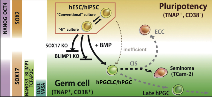 Induction and Isolation of hPGCLCs from Competent hiPSCs/hESCs.  Overview of human germline development. hESCs in 4i reversibly attains competence for germ cell fate. Exposure of 4i cells to cytokines containing BMPs results in strong induction of hPGCLCs following expression of SOX17-BLIMP1, which are among the key regulators of germ cell fate. SOX17 and BLIMP1 are detected in in vivo gonadal hPGC and TCam-2 seminoma, indicating a likely progression of early human germ cell lineage. CD38, a cell-surface glycoprotein, is shared by all cells with germ cell characteristics, but not by hESC. Loss of SOX17 or BLIMP1 abrogates hPGCLC specification.  SOX17 Is a Critical Specifier of Human Primordial Germ Cell Fate.  Surani et al 2014.