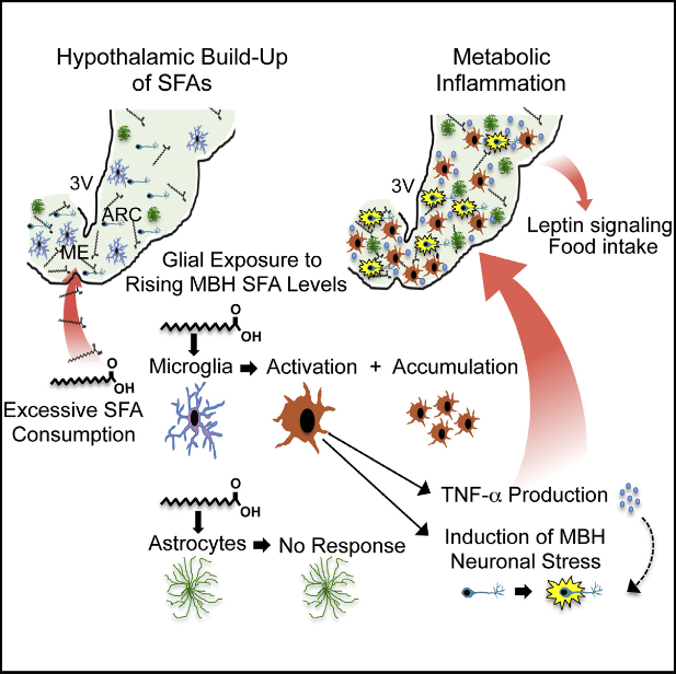 Diets rich in saturated fat produce inflammation, gliosis, and neuronal stress in the mediobasal hypothalamus (MBH). Here, we show that microglia mediate this process and its functional impact. Although microglia and astrocytes accumulate in the MBH of mice fed a diet rich in saturated fatty acids (SFAs), only the microglia undergo inflammatory activation, along with a buildup of hypothalamic SFAs. Enteric gavage specifically with SFAs reproduces microglial activation and neuronal stress in the MBH, and SFA treatment activates murine microglia, but not astrocytes, in culture. Moreover, depleting microglia abrogates SFA-induced inflammation in hypothalamic slices. Remarkably, depleting microglia from the MBH of mice abolishes inflammation and neuronal stress induced by excess SFA consumption, and in this context, microglial depletion enhances leptin signaling and reduces food intake. We thus show that microglia sense SFAs and orchestrate an inflammatory process in the MBH that alters neuronal function when SFA consumption is high.  Microglia Dictate the Impact of Saturated Fat Consumption on Hypothalamic Inflammation and Neuronal Function.  Valdearcos et al 2014.