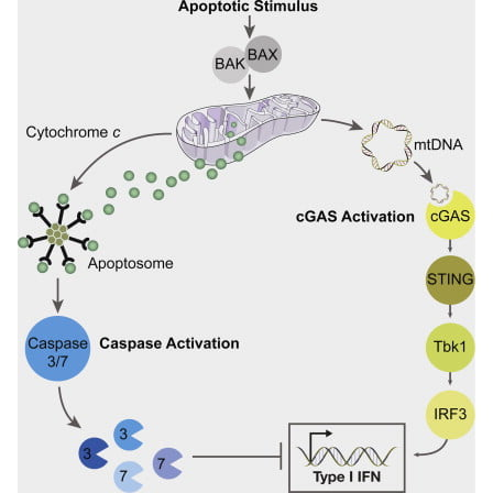 Activated caspases are a hallmark of apoptosis induced by the intrinsic pathway, but they are dispensable for cell death and the apoptotic clearance of cells in vivo. This has led to the suggestion that caspases are activated not just to kill but to prevent dying cells from triggering a host immune response. Here, we show that the caspase cascade suppresses type I interferon (IFN) production by cells undergoing Bak/Bax-mediated apoptosis. Bak and Bax trigger the release of mitochondrial DNA. This is recognized by the cGAS/STING-dependent DNA sensing pathway, which initiates IFN production. Activated caspases attenuate this response. Pharmacological caspase inhibition or genetic deletion of caspase-9, Apaf-1, or caspase-3/7 causes dying cells to secrete IFN-β. In vivo, this precipitates an elevation in IFN-β levels and consequent hematopoietic stem cell dysfunction, which is corrected by loss of Bak and Bax. Thus, the apoptotic caspase cascade functions to render mitochondrial apoptosis immunologically silent.  Apoptotic Caspases Suppress mtDNA-Induced STING-Mediated Type I IFN Production.   Kile et al 2014.