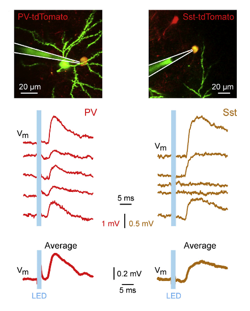 Cell-Type-Specific Features of Excitatory Synaptic Transmission In Vivo.  (A) Example whole-cell recording of uEPSPs elicited in a PV neuron (red) and a Sst neuron (brown) during DOWN states by 1 ms light pulses. Single trial uEPSPs are shown above and average uEPSP below. The in vivo two-photon images show the whole-cell recording pipette (Alexa 488 dye, green), the recorded tdTomato-expressing neuron (yellow), and part of the presynaptic eGFP- and ChR2-expressing neuron (green).  In Vivo Measurement of Cell-Type-Specific Synaptic Connectivity and Synaptic Transmission in Layer 2/3 Mouse Barrel Cortex.  Petersen et al 2014.