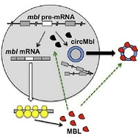 scientists-find-how-mysterious-circular-rna-is-formed-claim-muscular-dystrophy-link-healthinnovations1