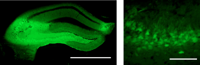 mTORC1 Regulates Genes Involved in mHTT Aggregate Clearance.  AAV.eGFP transduction of hippocampus.  eGFP expression in the hippocampus of N171-82Q mice 2 weeks after AAV1.  eGFP injection into the dentategyrus at 10 weeks of age.  Reinstating Aberrant mTORC1 Activity in Huntington's Disease Mice Improves Disease Phenotypes.  Lee et al 2015.