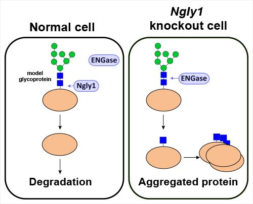 (Left) In normal cells, misfolded proteins are deglycosylated predominantly by Ngly1 and are degraded efficiently. (Right) In the absence of Ngly1, ENGase acts on some portion of unfolded glycoproteins, which leaves a portion of the N-glycan. These proteins aggregate and could somehow be detrimental to the cells.  Credit:  RIKEN.