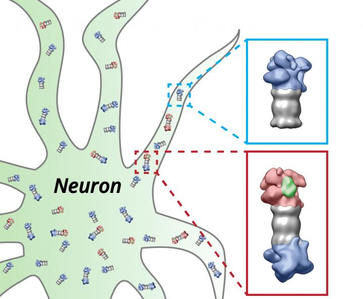 The proteasomes (grey) of the nerve cell (neuron) are equipped with the regulatory particles at their ends. These structures change their shape depending on whether they have bound (red) proteins which have to be degraded (green) or not (blue).  Credit:  Figure: Shoh Asano / Copyright: MPI of Biochemistry.