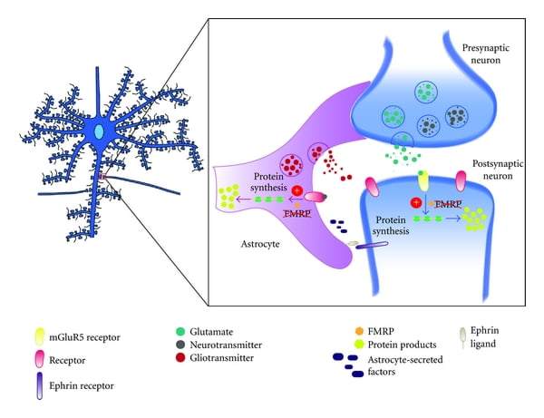 The role of astrocytes in (Fragile X Syndrome) FXS. It is becoming increasingly apparent that, in addition to presynaptic terminals and postsynaptic dendritic spines, synapses contain a third element: the fine processes of the astrocyte, which intimately enwrap the first two elements.  In the FXS disease state, nonfunctional FMRP in neurons leads to the dysregulation of synaptic protein synthesis and abnormal dendritic morphologies. FMRP may play a similar role in astrocytes as in neurons, functioning as a negative regulator of protein translation. In FMRP-deficient mice, the inability to repress translation is lost. mGluR5 stimulation, associated with dysregulated FMRP protein levels, results in increased levels of FMRP targeting mRNAs. Basal protein levels encoded by these target mRNAs become significantly elevated and thus improperly regulated. Aberrant spine and dendritic morphology is apparent through increased branching and an abundance of immature spines (filopodial projections).  Astrocytes and Developmental Plasticity in Fragile X.  Doering et al 2012.