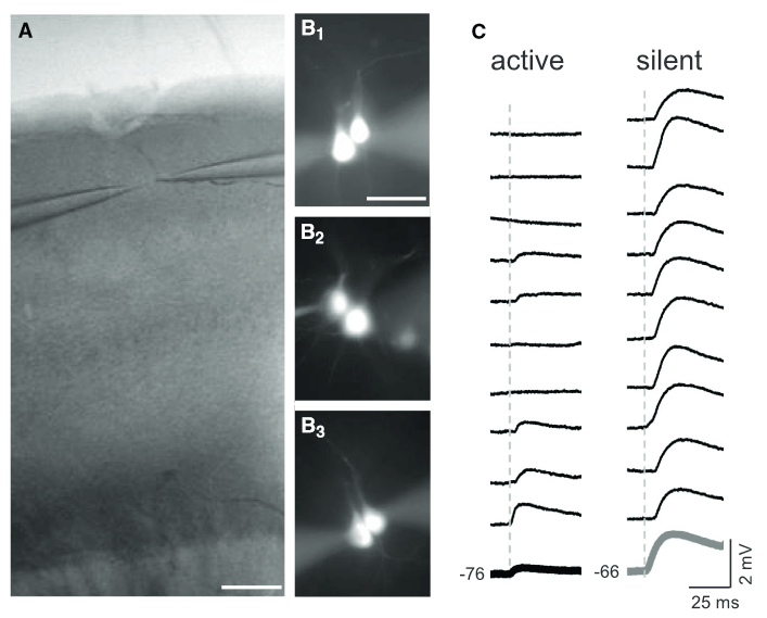 Direct Synaptic Connections between L2 Pyramidal Neurons Are Suppressed by Network Activity.  (A) A bright-field image showing the barrel cortex and the location ofpatch electrodes in layer 2.  The scale bar represents 200 mm.  (B) The location of cell soma for unconnected or connected pyramidal cells was similar. (B1) Two Alexa-Fluor- filled, unconnected pyramidal cells.  (B2 and B3) Two pyramidal cells connected unidirectionally and bidirectionally, respectively.  (C) Individual response trials for a representative connected pair under active network conditions (left) and for a different connected pair under silent network conditions (right). Bottom trace (bold) is ten-trial average for each connection.  Neocortical Somatostatin Neurons Reversibly Silence Excitatory Transmission via GABAb Receptors.  Barth et al 2015.