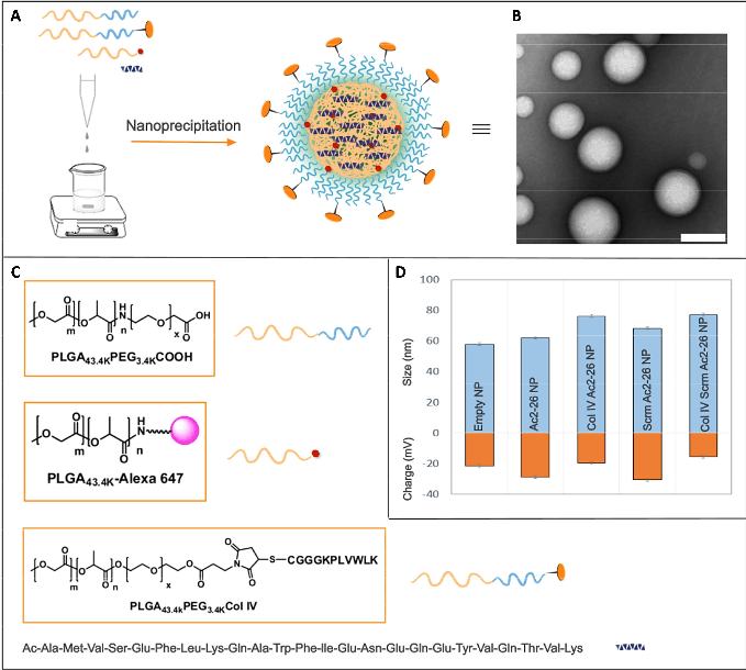 Engineered NPs with Col IV targeting peptide.  (A) The synthesized polymers and Ac2-26 or scrambled (Scrm) peptide were dissolved in acetonitrile, and NPs were formed by nanoprecipitation in water via a single self-assembly process. (B) TEM image of targeted ColIV-Ac2-26 NPs. Scale bar, 100 nm. (C) Structures of synthesized diblock PLGA-PEG, PLGA-Alexa 647, and PLGA-PEG-Col IV polymers, as well as the peptide sequence for Ac2-26. (D) Hydrodynamic size, as measured by DLS (nm) and zeta potential (mV), of the Ac2-26 NPs and controls.  Targeted nanoparticles containing the proresolving peptide Ac2-26 protect against advanced atherosclerosis in hypercholesterolemic mice.  Tabas et al 2015.
