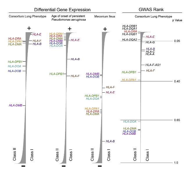 HLA Region Consistently Associated with Consortium Lung Phenotype and Age of Onset of Persistent P. aeruginosa Phenotype across Multiple Analyses, but not MI Phenotype Differential gene expression (left). HLA class I and II genes (listed on the right and left sides of each vertical bar, respectively) whose mean expression values are above the cutoff of expressed genes were ranked according to the association strength (t-statistic, negative [-;bottom] or positive [þ; top]; in the expression data (Consortium lung phenotype, n = 754; age of onset, n = 455; MI, n = 706). GWAS rank (right). HLA genes represented in the GWAS panel (n = 1,978) are de- picted according to strength of association to Consortium lung phenotype. For GWAS rank, p values are provided as a reference to aid interpretation. The width of the vertical bar represents the relative strength of the association finding. Individual genes are color coded for convenience. GeneSetScan software was utilized to pro- vide gene ranks for the HLA genes.  Gene Expression in Transformed Lymphocytes Reveals Variation in Endomembrane and HLA Pathways Modifying Cystic Fibrosis Pulmonary Phenotypes.  O'Neal et al 2015.