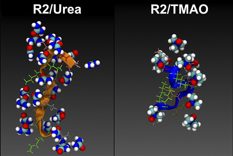 A representative snapshot of the R2/wt tau monomer in the presence of urea (Left) and TMAO (Right).  Regulation and aggregation of intrinsically disordered peptides.  Shea et al 2015.