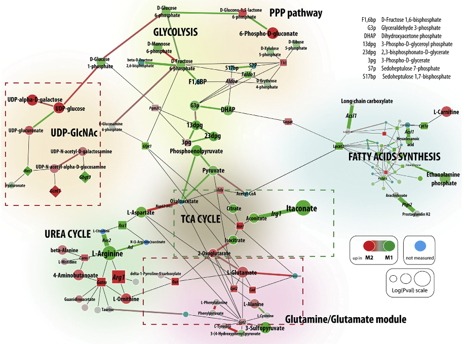 Major Metabolic Modules Are Rewired during Macrophage Polarization CoMBI-T reveals the most regulated subnetwork within global murine metabolic network that consists of more than 2,000 enzymes and metabolites measured through the CoMBI-T profiling pipeline. For comparison between M1- and M2-polarized macrophages, the most regulated metabolic subnetwork encompasses seven distinct modules highlighted by distinct background shading. Three major novel features of macrophage polarization identified by CoMBI-T are highlighted with dotted line squares—green for M1-specific module and red for M2. Round nodes represent metabolites within core regulatory network. Enzymes are represented by square nodes. Differential expression of corresponding enzyme/metabolite is indicated by the size of the node, and fold-change by red (M2) to green (M1) color scale. Enzymes in reactions with single product-substrate pair are represented by edges for visual convenience with thickness and color of the edge reflecting –log(p) and fold-change of differential expression correspondingly. For visual convenience, nodes of fatty acid synthesis module are not labeled.  Network Integration of Parallel Metabolic and Transcriptional Data Reveals Metabolic Modules that Regulate Macrophage Polarization.  Driggers et al 2015.