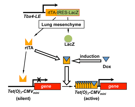 Adult lung mesenchymal cells are specifically targeted by Tbx4 lung enhancer. (A) Inducible transgenic expression (Cre or dnTβRII) in adult lung mesenchymal cells is controlled by a Tbx4 lung enhancer driven Tet-On system, shown by a schematic diagram. Expression of LacZ can be used as a marker for cells with active Tbx4 lung enhancer independent of Dox induction.  A novel profibrotic mechanism mediated by TGF-β-stimulated collagen prolyl hydroxylase expression in fibrotic lung mesenchymal cells.  Shi et al 2015.