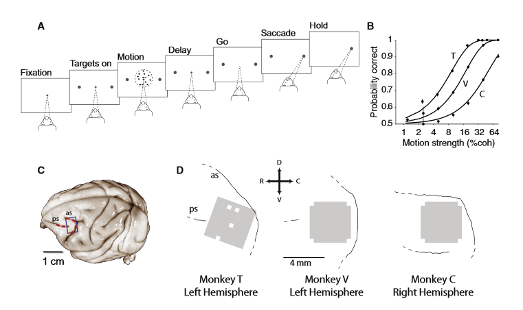 Large-Scale Multielectrode Recordings from the Prearcuate Gyrus during a Direction Discrimination Task.  (A) Behavioral task. Monkeys viewed the random dot motion for 800 ms and, after a variable delay, reported the perceived motion direction with a saccadic eye movement. Correct responses were rewarded with juice after a short hold period. The strength and direction of motion varied randomly from trial to trial. (B) Behavioral performance. The three psychometric functions depict performance for the three monkeys (T, V, and C), averaged across all sessions. P sychiatric-physical thresholds were 9.3% coherence for monkey T, 17.9% coherence for monkey V, and 51% coherence for monkey C. Monkey C's perceptual sensitivity was poor relative to most animals; threshold remained high despite months of training. The results in this paper, however, do not depend upon perceptual sensitivity. Our only requirement is that the animal was under behavioural control during task performance, which is demonstrated by the regular psychometric function. (C) Target area (blue box) for implantation of the multichannel electrode array on the prearcuate gyrus. Arcuate (as) and principal (ps) sulci are mar ked with red-dashed lines on the surface of a typical macaque brain (University of Wisconsin Brain Collection). (D) The actual location of each array with respect to arcuate and principal sulci. The white squares show the ground pins. In monkey C, the array could not be placed at the concavity of arcuate sulcus due to the unusually short distance between the arcuate and the posterior termination of the principal sulcus. Dashed lines at the end of a sulcus indicate the sulcus extends in this direction beyond our craniotomy.  Natural Grouping of Neural Responses Reveals Spatially Segregated Clusters in Prearcuate Cortex.  Kiani et al 2015.