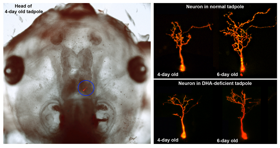 The Cohen-Cory study shows for the first time how deficits in certain fatty acids cause molecular changes in the developing brain that result in constrained growth of neurons and the synapses that connect them.  Credit:  Cohen-Cory lab / UC Irvine.