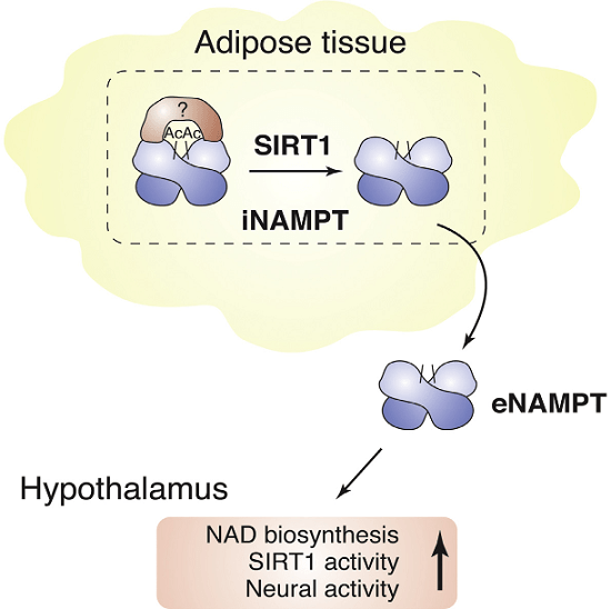 Nicotinamide phosphoribosyltransferase (NAMPT), the key NAD+ biosynthetic enzyme, has two different forms, intra- and extracellular (iNAMPT and eNAMPT), in mammals. However, the significance of eNAMPT secretion remains unclear. Here we demonstrate that deacetylation of iNAMPT by the mammalian NAD+-dependent deacetylase SIRT1 predisposes the protein to secretion in adipocytes. NAMPT mutants reveal that SIRT1 deacetylates lysine 53 (K53) and enhances eNAMPT activity and secretion. Adipose tissue-specific Nampt knockout and knockin (ANKO and ANKI) mice show reciprocal changes in circulating eNAMPT, affecting hypothalamic NAD+/SIRT1 signaling and physical activity accordingly. The defect in physical activity observed in ANKO mice is ameliorated by nicotinamide mononucleotide (NMN). Furthermore, administration of a NAMPT-neutralizing antibody decreases hypothalamic NAD+ production, and treating ex vivo hypothalamic explants with purified eNAMPT enhances NAD+, SIRT1 activity, and neural activation. Thus, our findings indicate a critical role of adipose tissue as a modulator for the regulation of NAD+ biosynthesis at a systemic level.  SIRT1-Mediated eNAMPT Secretion from Adipose Tissue Regulates Hypothalamic NAD+ and Function in Mice.  Lmai et al 2015.