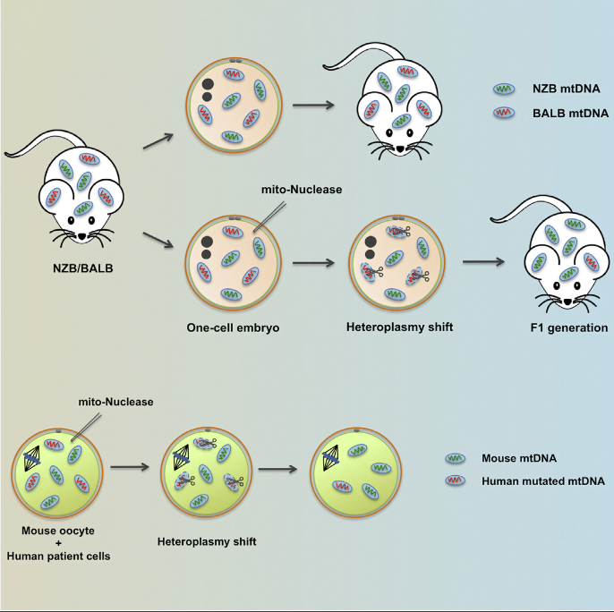 Mitochondrial diseases include a group of maternally inherited genetic disorders caused by mutations in mtDNA. In most of these patients, mutated mtDNA coexists with wild-type mtDNA, a situation known as mtDNA heteroplasmy. Here, we report on a strategy toward preventing germline transmission of mitochondrial diseases by inducing mtDNA heteroplasmy shift through the selective elimination of mutated mtDNA. As a proof of concept, we took advantage of NZB/BALB heteroplasmic mice, which contain two mtDNA haplotypes, BALB and NZB, and selectively prevented their germline transmission using either mitochondria-targeted restriction endonucleases or TALENs. In addition, we successfully reduced human mutated mtDNA levels responsible for Leber's hereditary optic neuropathy (LHOND), and neurogenic muscle weakness, ataxia, and retinitis pigmentosa (NARP), in mammalian oocytes using mitochondria-targeted TALEN (mito-TALENs). Our approaches represent a potential therapeutic avenue for preventing the transgenerational transmission of human mitochondrial diseases caused by mutations in mtDNA.  Selective Elimination of Mitochondrial Mutations in the Germline by Genome Editing.   Belmonte et al 2015.