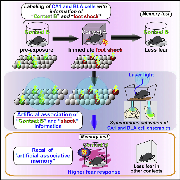 Memory is thought to be stored in the brain as an ensemble of cells activated during learning. Although optical stimulation of a cell ensemble triggers the retrieval of the corresponding memory, it is unclear how the association of information occurs at the cell ensemble level. Using optogenetic stimulation without any sensory input in mice, we found that an artificial association between stored, non-related contextual, and fear information was generated through the synchronous activation of distinct cell ensembles corresponding to the stored information. This artificial association shared characteristics with physiologically associated memories, such as N-methyl-D-aspartate receptor activity and protein synthesis dependence. These findings suggest that the association of information is achieved through the synchronous activity of distinct cell ensembles. This mechanism may underlie memory updating by incorporating novel information into pre-existing networks to form qualitatively new memories.  Artificial Association of Pre-stored Information to Generate a Qualitatively New Memory.  Inokuchi et al 2015.