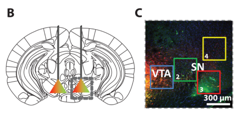 Co‐expression ofKOR and	 hM3D DREADD in vivo.  Localization of VTA/SN injections for multiplex DREADD experiments.  Grey-box demarcates	 example image	 in panel C.  (C) 10x confocal z‐projection	 of VTA/SN as	 marked	in panel B (Red: HA-­tagged KOR DREADD.  Green:	 mCherry-­tagged hM3D DREAD.  A New DREADD Facilitates the Multiplexed Chemogenetic Interrogation of Behavior.  Roth et al 2015.