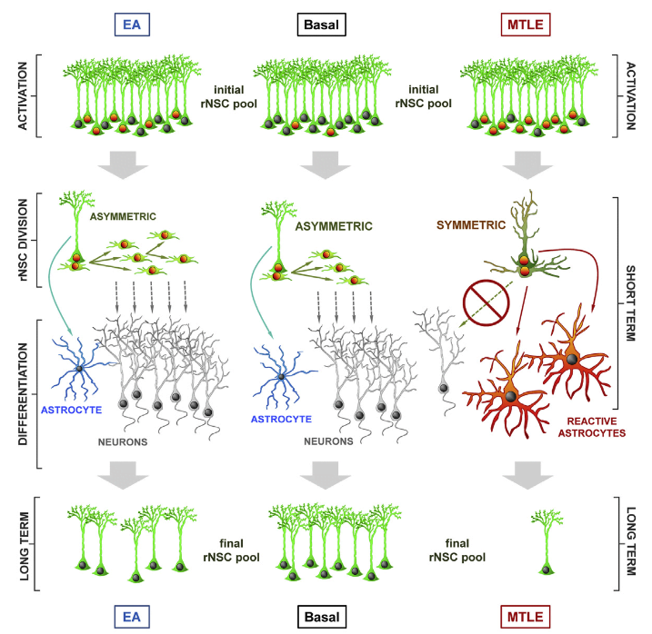 Adult hippocampal neurogenesis is believed to maintain a range of cognitive functions, many of which decline with age. We recently reported that radial neural stem cells (rNSCs) in the hippocampus undergo activation-dependent conversion into astrocytes, a mechanism that over time contributes to a reduction in the rNSC population. Here, we injected low and high levels of kainic acid (KA) in the dentate gyrus to assess whether neuronal hyperexcitation, a hallmark of epileptic disorders, could accelerate this conversion. At low levels of KA, generating epileptiform activity without seizures, we indeed found increased rNSC activation and conversion into astrocytes. At high levels, generating sustained epileptic seizures, however, we find that rNSCs divide symmetrically and that both mother and daughter cells convert into reactive astrocytes. Our results demonstrate that a threshold response for neuronal hyperexcitation provokes a dramatic shift in rNSC function, which impairs adult hippocampal neurogenesis in the long term.  Neuronal Hyperactivity Accelerates Depletion of Neural Stem Cells and Impairs Hippocampal Neurogenesis.  Encinas et al 2015.