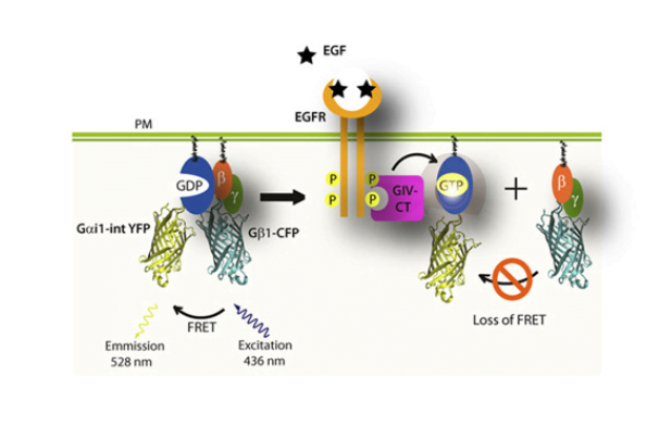 TAT-GIV-CT-WT, but not FA is sufficient to trigger dissociation of trimeric Gi at the PM after EGF stimulation. (A) Schematic for the Gα1-intYFP and Gβ1-CFP constructs used as paired FRET probes in B. FRET indicates inactive heterotrimers, whereas a loss of FRET indicates dissociation of the trimer during activation of Gi.  Therapeutic effects of cell-permeant peptides that activate G proteins downstream of growth factors.  Ghosh et al 2015.