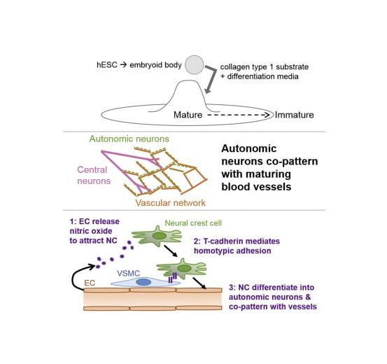 To gain insight into the cellular and molecular cues that promote neurovascular co-patterning at the earliest stages of human embryogenesis, we developed a human embryonic stem cell model to mimic the developing epiblast. Contact of ectoderm-derived neural cells with mesoderm-derived vasculature is initiated via the neural crest (NC), not the neural tube (NT). Neurovascular co-patterning then ensues with specification of NC toward an autonomic fate requiring vascular endothelial cell (EC)-secreted nitric oxide (NO) and direct contact with vascular smooth muscle cells (VSMCs) via T-cadherin-mediated homotypic interactions. Once a neurovascular template has been established, NT-derived central neurons then align themselves with the vasculature. Our findings reveal that, in early human development, the autonomic nervous system forms in response to distinct molecular cues from VSMCs and ECs, providing a model for how other developing lineages might coordinate their co-patterning.  hESC Differentiation toward an Autonomic Neuronal Cell Fate Depends on Distinct Cues from the Co-Patterning Vasculature.  Cheresh et al 2015.