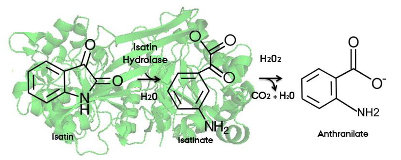 A newly developed method that combines phase extraction with an enzymatic reaction may eventually be used for an improved and faster screening analysis of isatin as a potential indicator of stress and neurological disorders.  Credit:  J. Preben Morth, University of Oslo; Lisbeth Heilesen, Aarhus University.