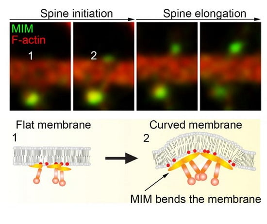 MIM Protein Bends the Plasma Membrane and Initiates Dendritic Spines.  This image shows time frames of MIM and F-actin dynamics during initiation of dendritic spine. MIM initiates dendritic spines by coupling phosphoinositide-signaling, direct membrane bending and actin assembly together to ensure proper synaptogenesis.  Credit:  Pirta Hotulainen and Juha Saarikangas.