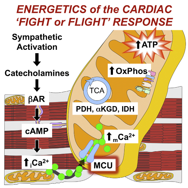 Cardiac contractility is mediated by a variable flux in intracellular calcium (Ca2+), thought to be integrated into mitochondria via the mitochondrial calcium uniporter (MCU) channel to match energetic demand. Here, we examine a conditional, cardiomyocyte-specific, mutant mouse lacking Mcu, the pore-forming subunit of the MCU channel, in adulthood. Mcu−/− mice display no overt baseline phenotype and are protected against mCa2+ overload in an in vivo myocardial ischemia-reperfusion injury model by preventing the activation of the mitochondrial permeability transition pore, decreasing infarct size, and preserving cardiac function. In addition, we find that Mcu−/− mice lack contractile responsiveness to acute β-adrenergic receptor stimulation and in parallel are unable to activate mitochondrial dehydrogenases and display reduced bioenergetic reserve capacity. These results support the hypothesis that MCU may be dispensable for homeostatic cardiac function but required to modulate Ca2+-dependent metabolism during acute stress.  The Mitochondrial Calcium Uniporter Matches Energetic Supply with Cardiac Workload during Stress and Modulates Permeability Transition.  Elrod et al 2015.