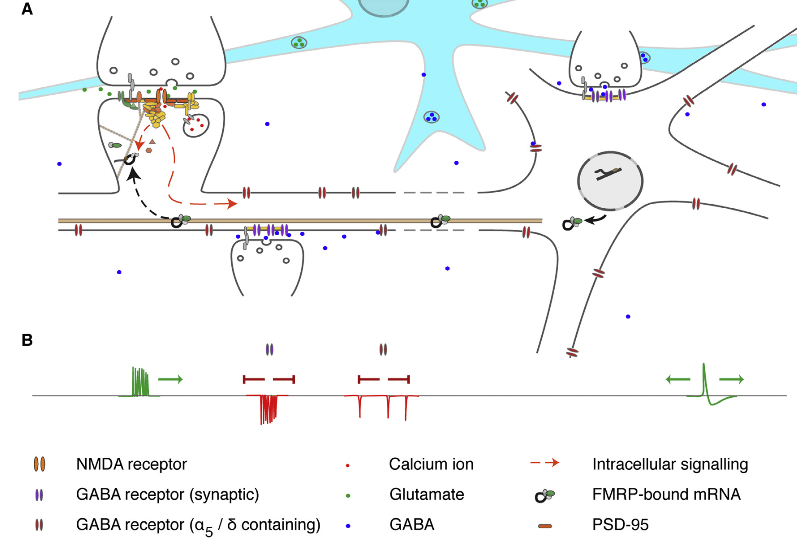 Functional Interactions between Neuronal Complexes Implicated in Schizophrenia.  Supporting and extending previous studies (Fromer et al., 2014; Kirov et al., 2012; Purcell et al., 2014), our analyses indicate a contribution to schizophrenia from ARC, NMDAR network, PSD-95, and GABA A neuronal complexes. Although not strongly associated here, targets of the translational repressor FMRP have previously been found to be enriched in CNVs and rare de novo small mutations in individuals with schizophrenia (Fromer et al., 2014; Purcell et al., 2014; Szatkiewicz et al., 2014). This figure summarizes the relationship between these sets of molecules and their roles in synaptic signaling and plasticity.  (A) PSD-95 complexes are an important component of the postsynaptic scaffold at glutamatergic synapses, linking a wide range of channels and receptors including NMDARs (top left). Calcium influx via the NMDAR drives multiple downstream pathways (red arrows): local signaling regulates induction of synaptic potentiation, while activation of ARC transcription via signaling to the nucleus is required for the long-term maintenance of synaptic changes. Once transcribed, mRNAs encoding ARC and other synaptic proteins are inactivated via association with FMRP and transported to synaptodendritic sites of protein synthesis.  Here, activity-dependent dissociation of FMRP releases transcripts from translational repression allowing protein synthesis and incorporation into active synapses.  (B) NMDAR activation requires both presynaptic glutamate release and strong post-synaptic depolarization, which may be induced by the back-propagation of action potentials. Influx of chloride ions via GABA receptors attenuates the dendritic transmission of excitation, inhibiting action potential generation and back-propagation. Phasic firing of synaptic GABA receptors plays a key role in establishing neural oscillations, required for the coordination of distributed functionalnetworks. Tonic GABA receptors also modulate excitatory currents and oscillatory neuronal behavior, being responsive to local network activity via the overspill of GABA from synaptic receptors and its release/uptake by glia (blue cell in A). For simplicity all receptors are shown acting upon a single neuron; in reality, their interplay is distributed across multiple neuronal cell types, e.g., tonic GABA currents also modulating synaptic GABA release from interneurons.  Novel Findings from CNVs Implicate Inhibitory and Excitatory Signaling Complexes in Schizophrenia.  Pocklington et al 2015.