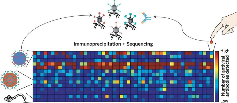 Systematic viral epitope scanning (VirScan). This method allows comprehensive analysis of antiviral antibodies in human sera. VirScan combines DNA microarray synthesis and bacteriophage display to create a uniform, synthetic representation of peptide epitopes comprising the human virome. Immunoprecipitation and high-throughput DNA sequencing reveal the peptides recognized by antibodies in the sample. The color of each cell in the heatmap depicts the relative number of antigenic epitopes detected for a virus (rows) in each sample (columns). Credit: Figure from the print summary of Xu et al 2015.  Comprehensive serological profiling of human populations using a synthetic human virome.