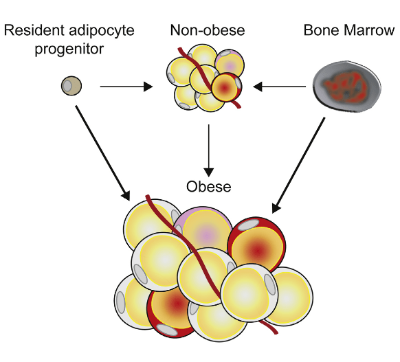 Because human white adipocytes display a high turnover throughout adulthood, a continuous supply of precursor cells is required to maintain adipogenesis. Bone marrow (BM)-derived progenitor cells may contribute to mammalian adipogenesis; however, results in animal models are conflicting. Here we demonstrate in 65 subjects who underwent allogeneic BM or peripheral blood stem cell (PBSC) transplantation that, over the entire lifespan, BM/PBSC-derived progenitor cells contribute ∼10% to the subcutaneous adipocyte population. While this is independent of gender, age, and different transplantation-related parameters, body fat mass exerts a strong influence, with up to 2.5-fold increased donor cell contribution in obese individuals. Exome and whole-genome sequencing of single adipocytes suggests that BM/PBSC-derived progenitors contribute to adipose tissue via both differentiation and cell fusion. Thus, at least in the setting of transplantation, BM serves as a reservoir for adipocyte progenitors, particularly in obese subjects.  Transplanted Bone Marrow-Derived Cells Contribute to Human Adipogenesis.  Arner et al 2015.