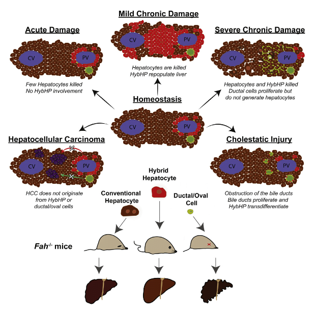 Compensatory proliferation triggered by hepatocyte loss is required for liver regeneration and maintenance but also promotes development of hepatocellular carcinoma (HCC). Despite extensive investigation, the cells responsible for hepatocyte restoration or HCC development remain poorly characterized. We used genetic lineage tracing to identify cells responsible for hepatocyte replenishment following chronic liver injury and queried their roles in three distinct HCC models. We found that a pre-existing population of periportal hepatocytes, located in the portal triads of healthy livers and expressing low amounts of Sox9 and other bile-duct-enriched genes, undergo extensive proliferation and replenish liver mass after chronic hepatocyte-depleting injuries. Despite their high regenerative potential, these so-called hybrid hepatocytes do not give rise to HCC in chronically injured livers and thus represent a unique way to restore tissue function and avoid tumorigenesis. This specialized set of pre-existing differentiated cells may be highly suitable for cell-based therapy of chronic hepatocyte-depleting disorders.  Hybrid Periportal Hepatocytes Regenerate the Injured Liver without Giving Rise to Cancer.  Karin et al 2015.