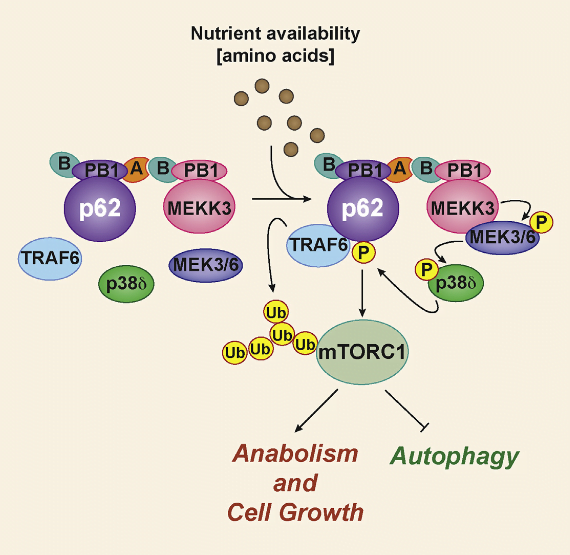 The mTORC1 complex is central to the cellular response to changes in nutrient availability. The signaling adaptor p62 contributes to mTORC1 activation in response to amino acids and interacts with TRAF6, which is required for the translocation of mTORC1 to the lysosome and the subsequent K63 polyubiquitination and activation of mTOR. However, the signal initiating these p62-driven processes was previously unknown. Here, we show that p62 is phosphorylated via a cascade that includes MEK3/6 and p38δ and is driven by the PB1-containing kinase MEKK3. This phosphorylation results in the recruitment of TRAF6 to p62, the ubiquitination and activation of mTOR, and the regulation of autophagy and cell proliferation. Genetic inactivation of MEKK3 or p38δ mimics that of p62 in that it leads to inhibited growth of PTEN-deficient prostate organoids. Analysis of human prostate cancer samples showed upregulation of these three components of the pathway, which correlated with enhanced mTORC1 activation. Amino Acid Activation of mTORC1 by a PB1-Domain-Driven Kinase Complex Cascade. Meco et al 2015.