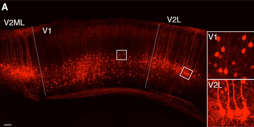 Efr3a-Cre+ Cell Morphology and Axonal Projections in Visual Cortex.  Difference in morphologies of L5 Efr3a-Cre+ neurons labeled  by AAV-FLEX-tdTomato in V1 versus V2L or V2ML.  Three Types of Cortical Layer 5 Neurons That Differ in Brain-wide Connectivity and Function.   Callaway et al 2015.